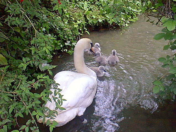 Swan with young. Copyright: Loders Primary School